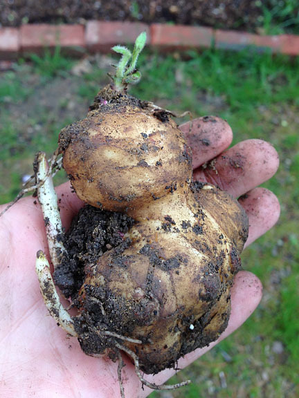 hqcreations:  Growing My Own Jerusalem Artichokes / Sunchokes Picked these guys up at the farmer's market and planted them in last fall. All the little pink nodes and buds were an encouraging sight. I was getting anxious because it's getting late in the spring, and I've not seem any activities. Then, in the last several days, they all starting peaking through and growing like mad! Hope these guys will help create a natural privacy fence between me and the neighbors…at least for half the year.