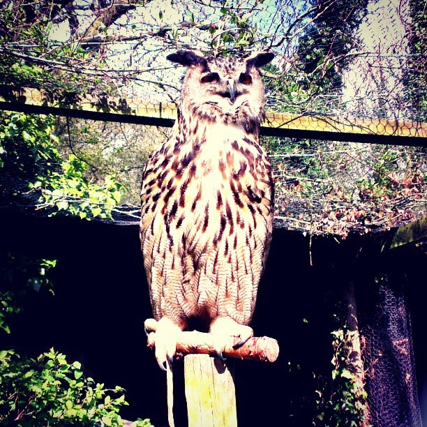 Eagle Owl! Imagine having one á la Harry Potter, carrying your messages. #birds , #birdsofprey , #owls , #wildlife, #wild, #animals