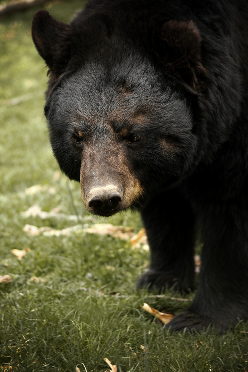 earthandanimals:  Black Bear *This is my own photography*