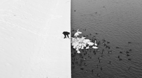 joshsternberg:  Stunning photo of a man feeding swans.  (h/t Andrew Vazzano)