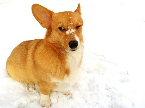 corgiaddict:  The result of a human vs corgi snowball fight corkidorki.tumblr.com