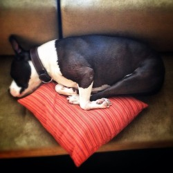 This #pitbull thinks he's a small cat (at Broad-cast)