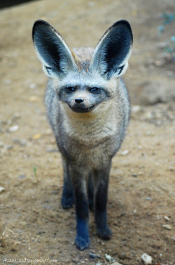 earth-song:  Child of the bat and fox  The Bat-eared fox baby (Otocyon megalotis, Pes ušatý, Status: Least Concern) from ZOO Prague, the Czech Republic by *Allerlei