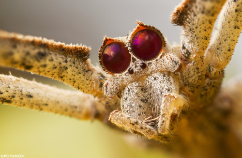 orge faced spider or net casting spider image source
