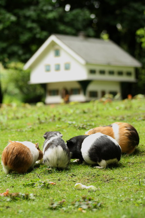 happycavies:  Guinea pig city by *DarkTara