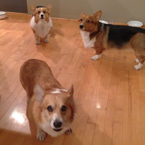 andcorgimakesthree:  Everyone's pissed #threecorgis #corgi #cute #love #petstagram #corgistagram #igers #dog #photooftheday  Uh oh. Peanut butter nap time must have been taken out of the schedule.