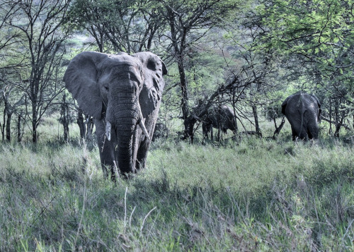 elephants grazing.