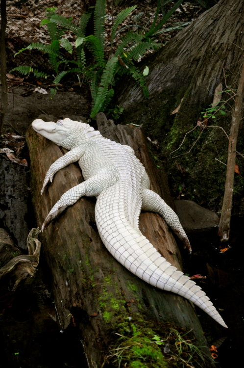 theloveforanimals:  Albino Alligator by ~greenappaloosa