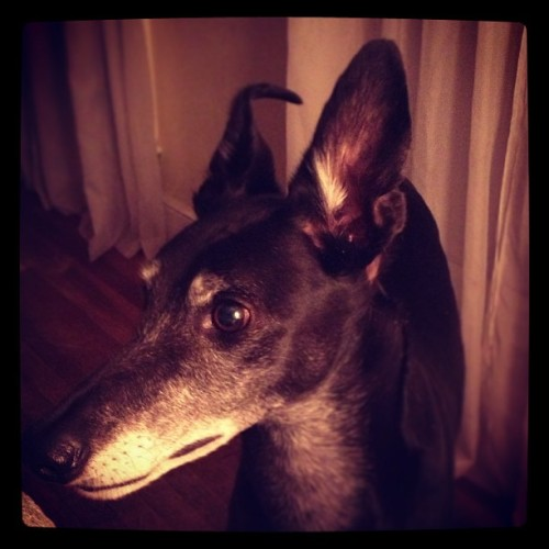 Handsomest Dewey #greyhound