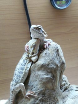 tobegreatnotjusttobe:  my beardies when they where bubbies!!! ^_^ so cute!! i miss them muchly!! :/
