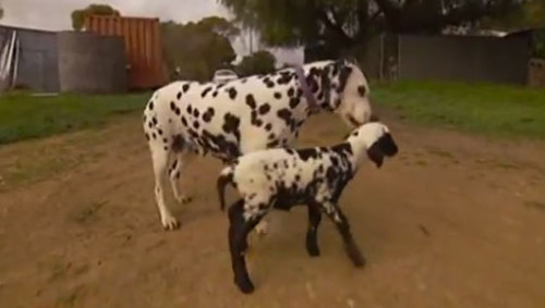 Dalmatian adopts spotted lamb      The Dalmatian, which has no puppies of her own, might be drawn to the tiny ewe's speckled coat, according to a veterinarian.