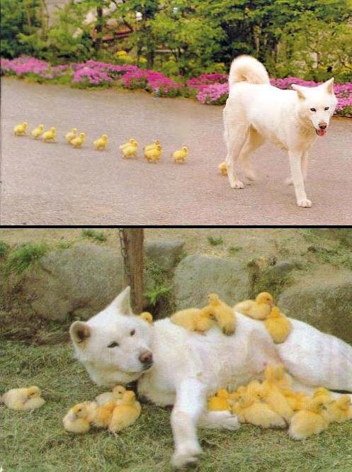 kinda looks like the wolfdog is crapping out ducklings in that first picture.