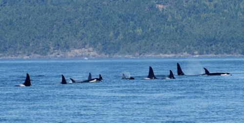 kogiopsis:  verybluebird:  foucaultscat:  Speak Up to Save Puget Sound's Orcas The rare and playful orcas of the Pacific Northwest urgently need your help. A property-rights group is trying to strip away Endangered Species Act protections for the last remaining killer whales in Puget Sound. We can't let that happen. There are only about 86 orcas left in this population — and they continue to face the very real threat of extinction because of  pollution, climate change and food shortages. This unique population feeds on fish — unlike other orcas — and their salmon food source has been severely depleted. Despite these threats, the federal government is considering a proposal by the property-rights group Pacific Legal Foundation to remove orcas from the endangered species list. Please use the form below to take action and protect Puget Sound's orcas. Click link above. Only takes a minute.  PLEASE. PLEASE PLEASE PLEASE. The Southern Residents are EXTRAORDINARY; they are unique and their culture and heritage so special! I have sponsored 4 of them through the Whale Museum and I have seen them swimming free. Please, if all you signed this, think of how many more voices would be added to the effort to protect these incredible beings!   SIGNAL FUCKING BOOST.  Please please please sign this; it is incredibly important.  The U.S. and Canadian governments fuck up/allow the fucking up of the Southern Residents' habitat enough already; if they lose the Endangered Species Act protections, we'll probably lose them.