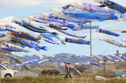 fotojournalismus:  Some 370 blue-coloured carp streamers fly at the tsunami-devastated city of Higashimatsushima, Miyagi prefecture on May 3, 2013. People hoist the blue-coloured carp streamers, symbol of child carp streamer, to mourn children who died in the March 11, 2011 tsunami disaster in the city. [Credit : Jiji Press/AFP/Getty Images]