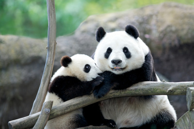 sdzoo:  Mr. Wu with his Beautiful Mom by Rita Petita