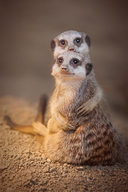 wonderous-world:  Meerkat Hug by Sabine Reuss