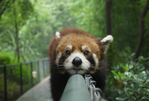 magicalnaturetour:  Lazy Red Panda Source