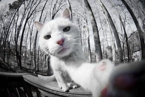 punkrockbetty:  tastefullyoffensive:  9 Cats Taking Selfies  omg