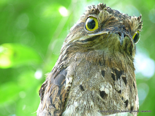 madeofbutts:     The Potoo