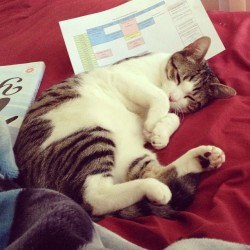 "thefluffingtonpost:  Kitten Falls Asleep While Studying for Finals With finals weeks looming, Zuko the kitten has been pulling a back-to-back all nighters the entire week in an attempt to cram as much knowledge as she can into her little kitty brain. Unfortunately, her body had other plans, and she succumbed to sleep last night, waking up amid a pile of papers and #2 pencils this morning. ""All the Red Bulls in the world weren't going to keep her awake,"" said Julia Datlow, the cat's roommate. ""Zuko is a cat. They sleep like, what, 16 hours a day? There's no fighting nature."" Zuko's first final, in applied string chasing, is Monday morning. Via kittyzuko."