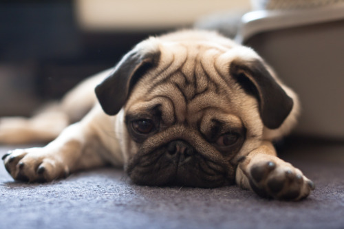 animals-animals-animals:  Sad Pug (by xenophex)