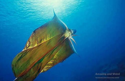 bestfriend4ever-gmark08:  The Mysterious Blanket OctopusThe blanket octopus is perhaps the only creature on earth aside from man that truly appreciates a sense of drama. For example, most animals use things like poisons, sprays or smells as defensive mechanisms to ward off attackers. Not the blanket octopus. The blanket octopus instead uses its giant, built-in flowing cloak to dissuade potential predators by essentially convincing them that it's the ocean's Batman