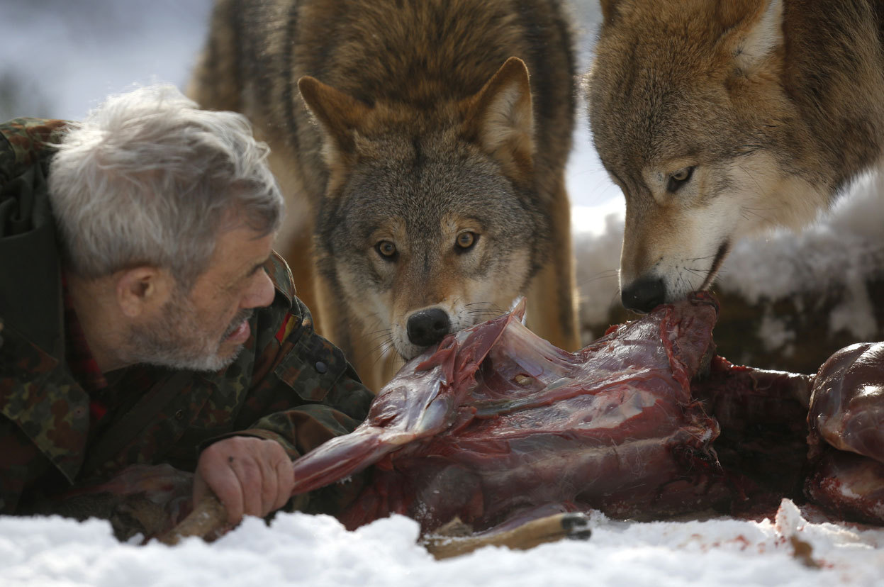 From The Wolf Man, one of 18 photos. Wolf researcher Werner Freund lies on the ground next to Mongolian wolves as they devour a deer cadaver in an enclosure at Wolfspark Werner Freund, in Merzig in the German province of Saarland, on January 24, 2013. (Reuters/Lisi Niesner)