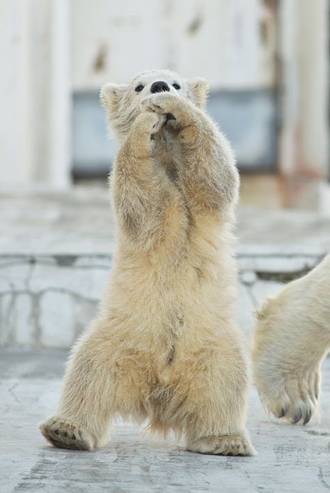 thepolarbearblog:  Oppan Gangnam Style / Photo by Uni_Zoo