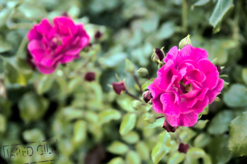 First attempt at creating HDR image. Some flowers in the garden