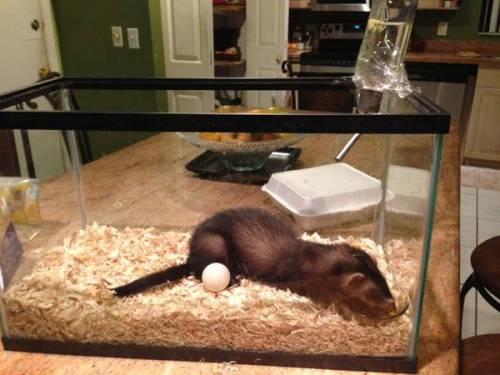 I found a person keeping a ferret in a 10 gal fish glass tank on craigslist.  how that even works as a cage without the ferret getting out is beyond me but I really can't stand people and I'm considering taking him in. he's only 11 months old and is precious miami.craigslist.org/brw/for/3659664943.html