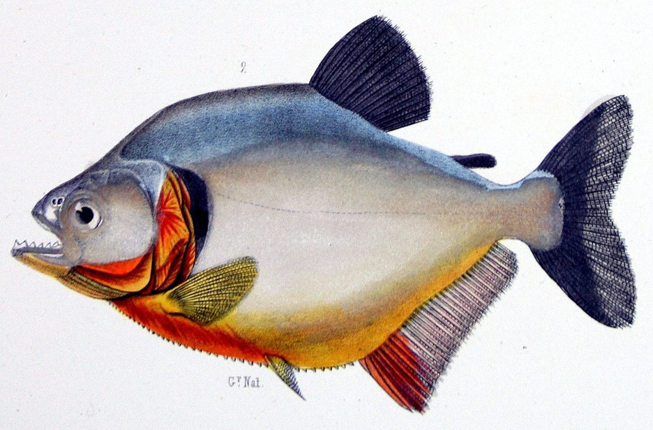 "biomedicalephemera:  Black Piranha - Serrasalmus rhombus The black piranha (also known as the redeye or rhombeus piranha) has recently been discovered to have a bite force as strong as the estimated force of the extinct Megapiranha. Though the negative stigma towards piranhas is largely undeserved, the mature black piranha is one of the most aggressive fish. This is especially true recently, with the over-fishing of the Amazon and Orinoco rivers, depleting the food sources of the adult fish. Most species of juvenile piranhas feed on the scales and fins of others fish. Yes, they will swim up to, and rip the fins off of big fish, especially as they near maturity, but are not yet large enough to reliably hunt down other fish. Despite their huge size (up to 1 m long, four times longer than adult black piranhas) and extremely strong bite force, the Megapiranha of the Pleistocene era (8-10 mya) wasn't believed to have a solely carnivorous diet. Their saw-shaped teeth bear similarities to the Serrasalmus genus, but also to the teeth of the Pacu, or ""vegetarian piranha"".  Expédition dans les parties centrales de l'Amérique du Sud, de Rio de Janeiro à Lima et de Lima au Para. Under direction of  Le Comte Francis de Castelnau, 1856."