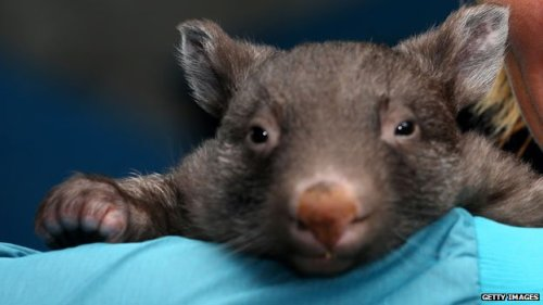 """How can you not love this creature, and want to save it?"" How indeed.  BBC on wombats' struggle to survive."
