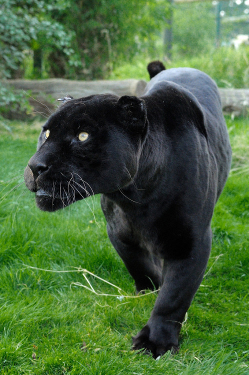 llbwwb:  Black Jaguar (by katuryn)