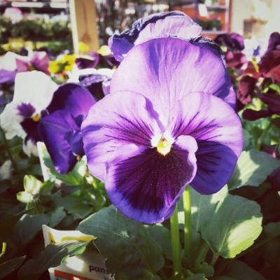 Be a pretty pansy. #nature #flowers #thehomedepot (at The Home Depot)
