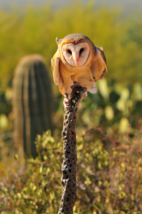 getawildlife:  Taking Flight (Barn Owl) (by QQQQcon)