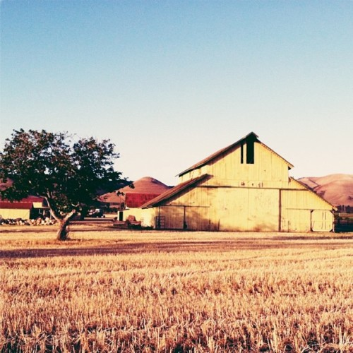nbd. just a bright yellow barn in a field of gold. #baslowwedding