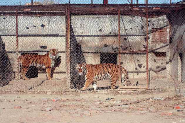 In China, Tigers Are Farmed Like Chickens Tigers are some of the biggest victims of the wildlife trade, with the rare cats' bones coveted for traditional medicine and their coats prized as rugs. In Vietnam, tiger parts are so valuable that they make better bribes than cash. And in China, tiger parts are in such high demand that they are being farmed like chickens. According to a new report from the Environmental Investigation Agency, China's tiger farms are huge, with thousands of captive tigers being bred for slaughter. That's possible because China has essentially legalized the tiger trade, which is troubling considering that China is a signatory of the CITES treaty, which bans international trade of tiger parts (along with parts of other animals, like rhinos and elephants) and calls for domestic trade prohibitions. But far more troubling is the EIA's conclusion that China's tiger farms are actually stimulating demand for wild tigers. The report states that there are somewhere between 5,000 and 6,000 captive tigers in China, a population that boomed from just a few dozen in the 80s thanks to favorable legal policies as well as funding from China's State Forestry Administration. (As the Times noted in 2010, China's largest tiger farm is run by the SFA.) Meanwhile, China's wild tiger population has plummeted to just a few dozen individuals, down from a high of around 4,000 in the late 1940s. Continue