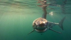 photography beautiful shark ocean diving sharks marine biology great white sea life ocean life great white shark great whites great white sharks