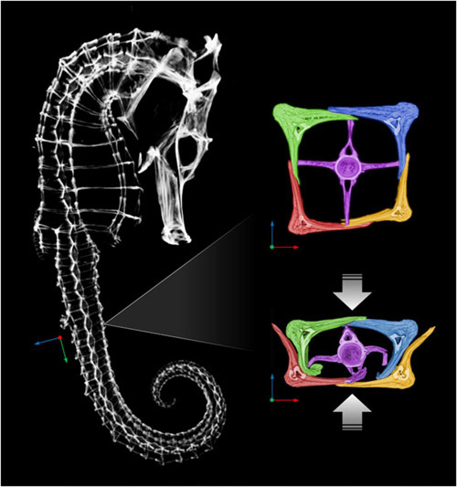 ucresearch:  science-junkie:  Seahorse's Armor Gives Engineers Insight Into Robotics Designs The tail of a seahorse can be compressed to about half its size before permanent damage occurs, engineers at the University of California, San Diego, have found. The tail's exceptional flexibility is due to its structure, made up of bony, armored plates, which slide past each other. Researchers are hoping to use a similar structure to create a flexible robotic arm equipped with muscles made out of polymer, which could be used in medical devices, underwater exploration and unmanned bomb detection and detonation. UC San Diego engineers, led by materials science professors Joanna McKittrick and Marc Meyers, detailed their findings in the March 2013 issue of the journal Acta Biomaterialia. Read more →  Love that seahorse CT scan — As UCSD's Michael Porter mentions, seahorses are pretty unique creatures: they have a head like a horse, a snout like an anteater, a prehensile tail like a monkey, a pouch like a kangaroo, camouflage like a flounder, and eyes that move independently like a chameleon.