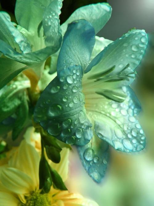 midnight-s0ng:  ::::::::::Flower:::::::::: / Raindrops on Lilies -So Pretty ! on We Heart It - http://weheartit.com/entry/50890704/via/AllW0rldsIn0ne