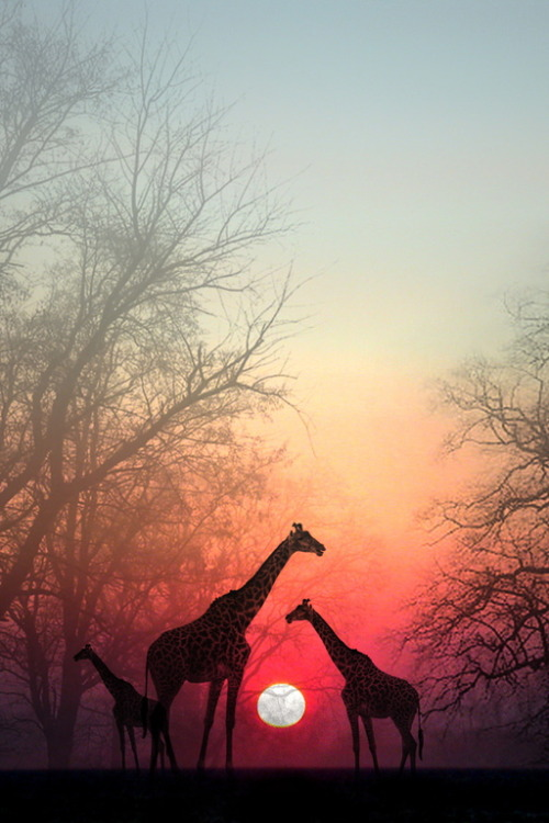 Giraffes in t he Sunset
