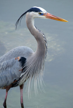 fairy-wren:  Great Blue Heron (photo by fail avenger)