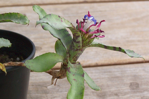 Neoregelia lilliputiana Plant and Flower by supple1957 on Flickr.