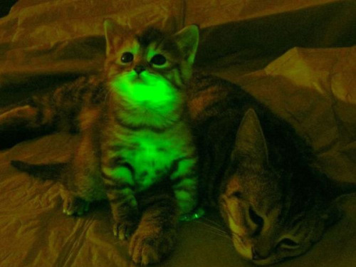 theweekmagazine:  Genetically modified animals that glow in the dark Scientists inserted a gene into cats that helps them resist Feline immunodeficiency virus—a close relative of HIV and tracked it with a green fluorescent protein. These cats appeared normal during the day, but can glow at night if prompted. 