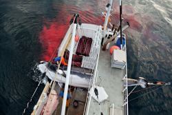 climateadaptation:  timzimmermann:  In Norway, culture of whaling can't compete with modern alternatives. @whales_org @oceanwire View Post  Note the slabs of meat. Also, Tim Zimmermann is a hard core, outdoors/environmental dude. He runs a solid tumblr - follow if you can!