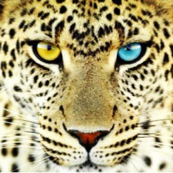 9gag:  Beautiful leopard with different colored eyes.