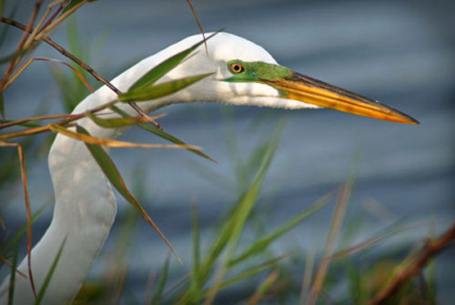 "Artwork of the Day: ""Stalking Egret,"" photograph, Artist: Burdette Parks. This work will be on display through June 7 in the ""Bird Art Invitational"" exhibit at the Paul Smith's College VIC."