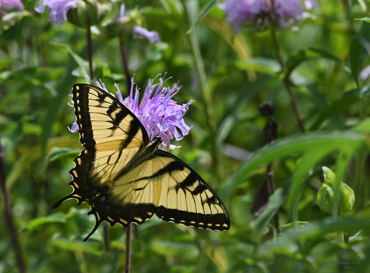 """speakingofnature: """"As summer advances more wildflowers become available to feed the butterfly population. Here an Eastern Tiger Swallowtail (Papilio glaucus) nectars at a favorite of many butterflies, the Wild Bergamot (Monarda fistulosa). """""""