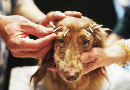 Photos of the day: Animal acupuncture brings relief to pets and humans This ancient Chinese practice is gaining popularity among pet owners trying to manage their pet's chronic pain or to promote joint health. See more puppy acupuncture photos.