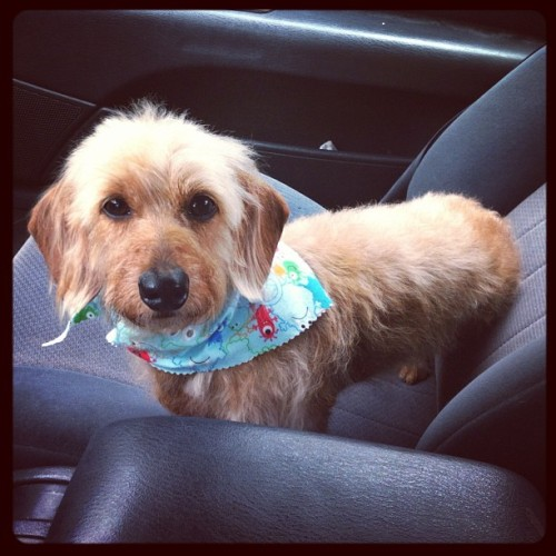 My puppy is too cute. Benji's new haircut! :)